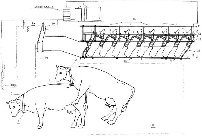 Способ и линия эффективного выявления охоты у идентифицированных молочных (дойных) коров при беспривязном содержании