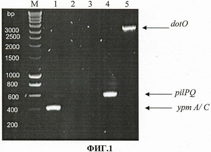 Тест-штамм yersinia pseudotuberculosis для дифференциации бактерий yersinia pseudotuberculosis генетической группы i