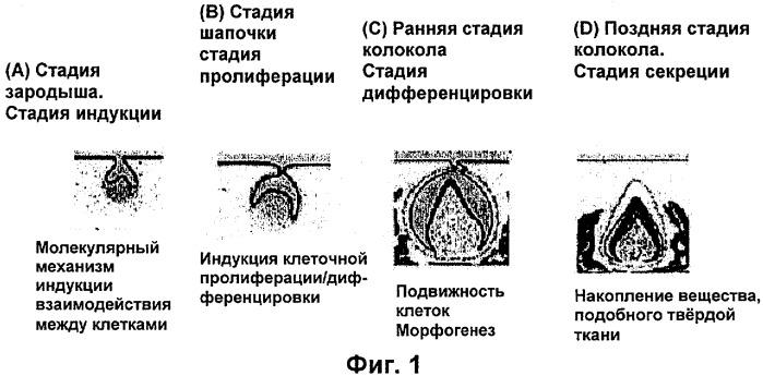 Способ получения мезенхимной клетки, способ получения зуба и мезенхимная клетка для формирования зуба