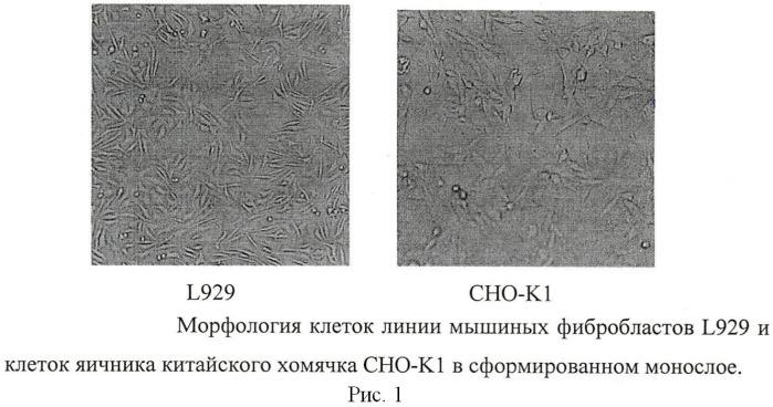 Способ определения цитотоксичности антигенов burkholderia pseudomallei in vitro