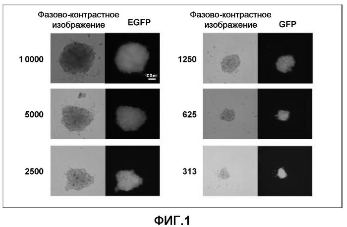 Способ конструирования массы миокардиальных клеток и применение массы миокардиальных клеток