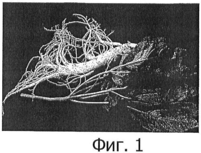 Растительная клеточная линия, полученная из камбия травянистого растения с запасающим корнем, и способ ее выделения