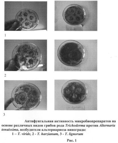 Способ биологической борьбы с альтернариозом винограда