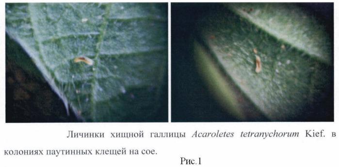 Способ разведения полезного насекомого - хищной галлицы acaroletes tetranychorum kief. (diptera : cecidomyiidae)