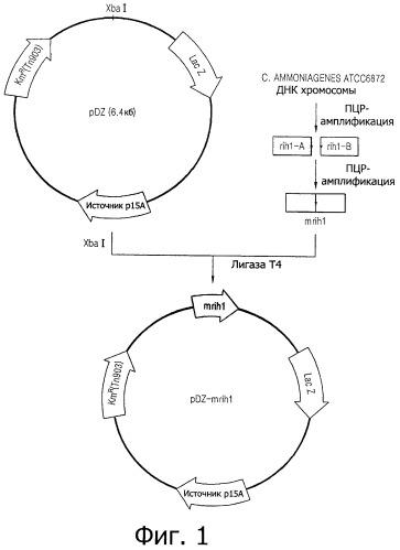 Штамм микроорганизма corynebacterium ammoniagenes, продуцирующий инозин, и способ получения инозина с его использованием