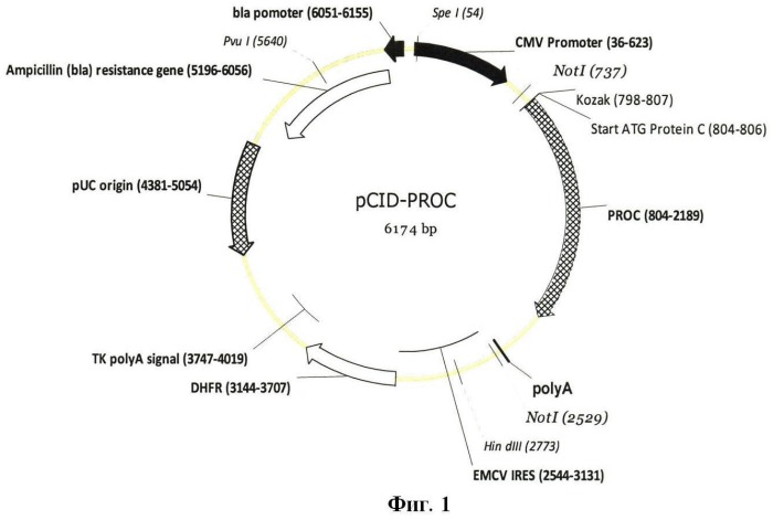 Экспрессионная плазмидная днк pcid-proc, кодирующая протеин с человека, и клеточная линия dg-cid-proc-1, продуцирующая рекомбинантный протеин с человека