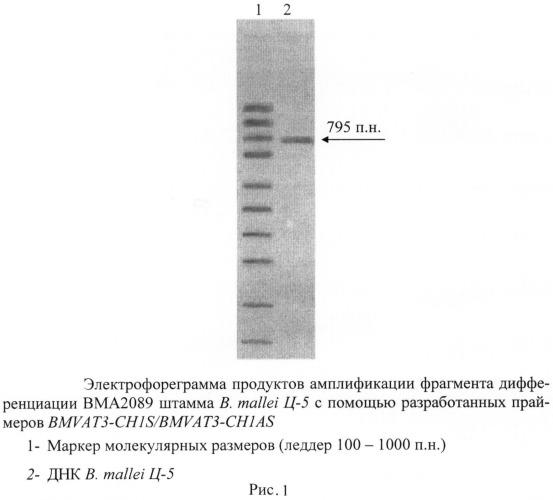 Олигонуклеотидные праймеры для генотипирования b. mallei методом полимеразной цепной реакции