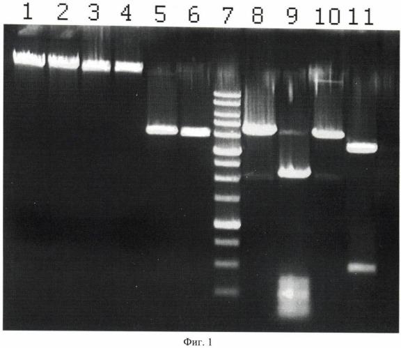 Штамм бактерий planomicrobium koreense 78k - продуцент сайт-специфической эндонуклеазы pkri