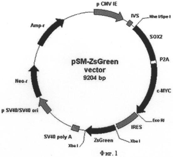 Рекомбинантная плазмида psm-zsgreen, кодирующая белки sox2 и с-myc человека и флуоресцентный белок zsgreen, предназначенная для получения индуцированных плюрипотентных стволовых клеток человека