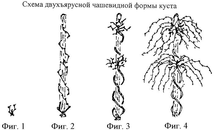 Способ формирования и обрезки виноградных кустов