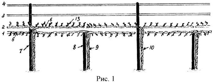 Способ формирования виноградных кустов