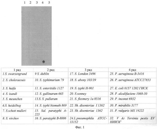 Штамм гибридных клеток животных mus musculus 2b8 - продуцент моноклональных антител, специфичных к v антигену yersinia pestis