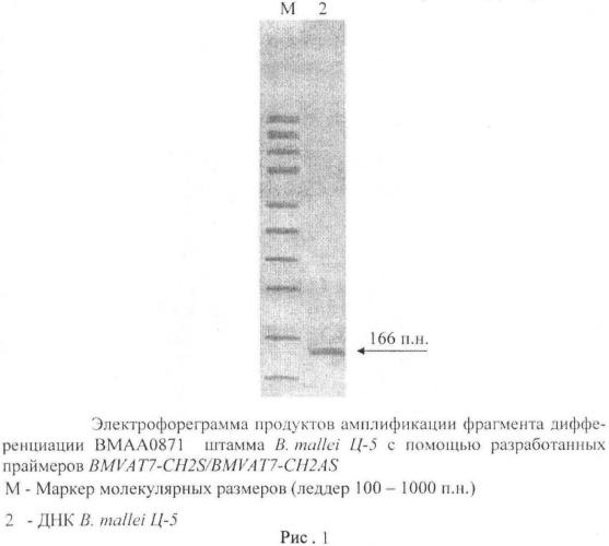Олигонуклеотидные праймеры bmvat7-ch2s/bmvat7-ch2as для обнаружения фрагмента дифференциации вмаа0871 штаммов возбудителя сапа