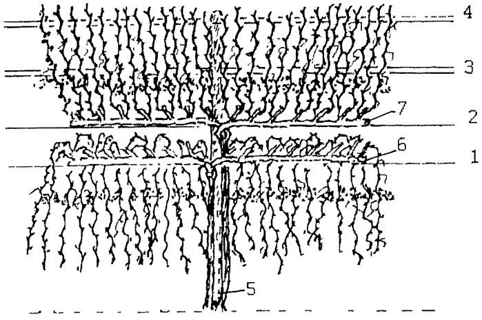 Способ ведения сильнорослых сортов винограда