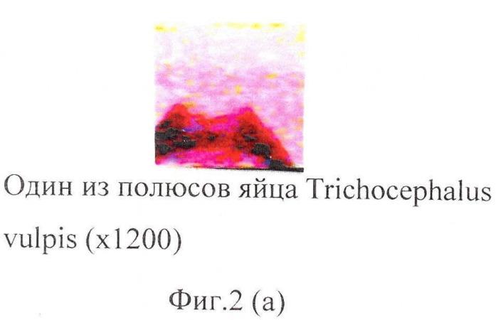 Способ прижизненной дифференциальной диагностики trichocephalus vulpis и thominx (capillaria) aerophilus по микроструктуре яиц