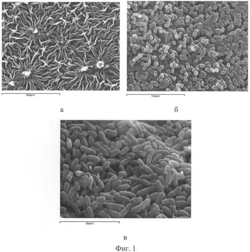 Способ подготовки образцов биопленок микроорганизмов для исследования в сканирующем электронном микроскопе