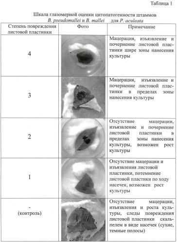 Способ косвенной оценки вирулентности штаммов патогенных буркхольдерий по признаку цитопатогенности