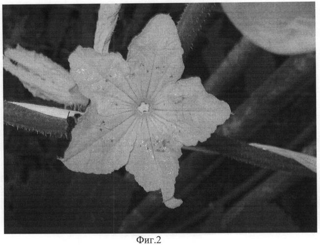 Способ контроля опыления шмелями и медоносными пчелами цветков огурца