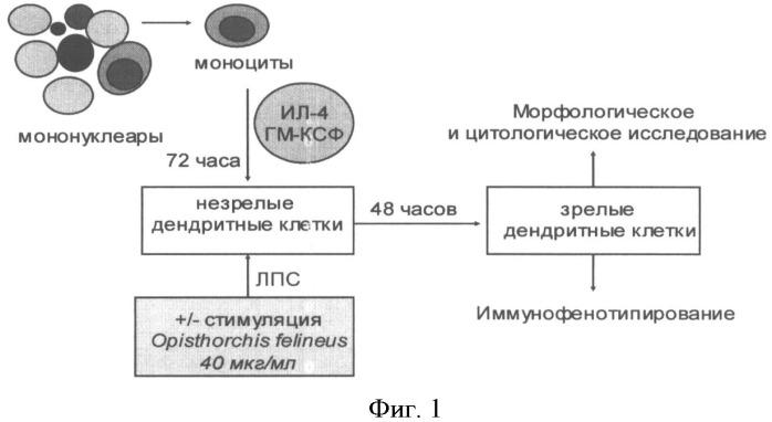Способ нагрузки дендритных клеток антигеном инфекционного происхождения opisthorchis felineus