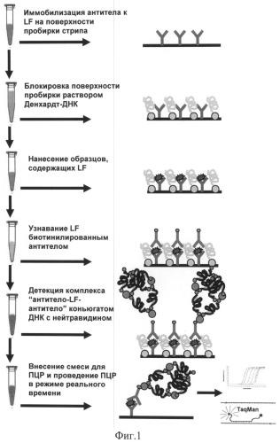Способ определения летального фактора сибирской язвы на основе иммунодетекции, сопряженной с полимеразной цепной реакцией