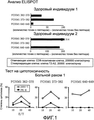 Пептид foxm1 и включающее его медицинское средство