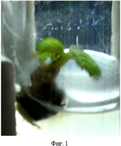 """Способ поверхностной стерилизации эксплантов и апикальных почек земляники садовой, винограда, хурмы сорта """"королек"""" in vitro"""