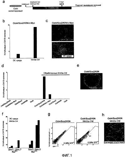 Стимуляция пути wnt при перепрограммировании соматических клеток