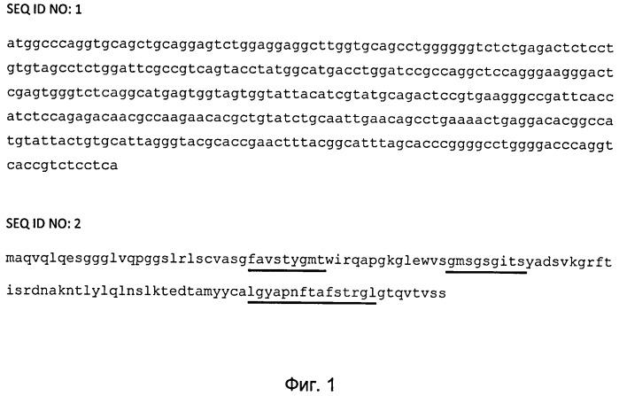 Наноантитело, специфически связывающее белок muc1, способ детекции белка muc1 с помощью наноантител