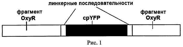 Выделенная нуклеиновая кислота, кодирующая флуоресцентный биосенсор для детекции пероксида водорода, кассета экспрессии, клетка, продуцирующая биосенсор, выделенный флуоресцентный биосенсор для детекции пероксида водорода, выделенная нуклеиновая кислота, кодирующая флуоресцентный биосенсор, оперативно слитая с нуклеиновой кислотой, кодирующей сигнал внутриклеточной локализации