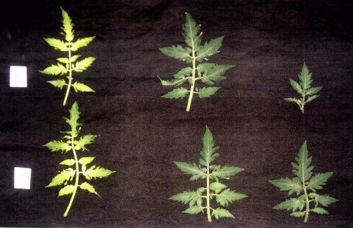 Способ выращивания рассады томата в защищенном грунте