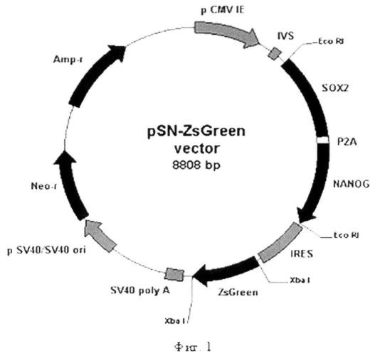 Рекомбинантная плазмида psn-zsgreen, кодирующая белки sox2 и nanog человека и флуоресцентный белок zsgreen, предназначенная для получения индуцированных плюрипотентных стволовых клеток человека