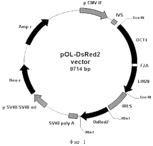 Рекомбинантная плазмида pol-dsred2, кодирующая белки oct4 и lin28 человека и флуоресцентный белок dsred2, предназначенная для получения индуцированных плюрипотентных стволовых клеток человека