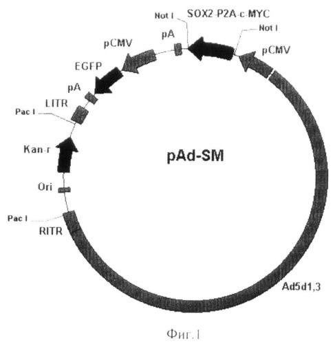Рекомбинантная плазмида pad-sm, кодирующая белки sox2 и c-myc человека, являющаяся основой для получения вирулентных аденовирусов, предназначенных для получения индуцированных плюрипотентных клеток человека