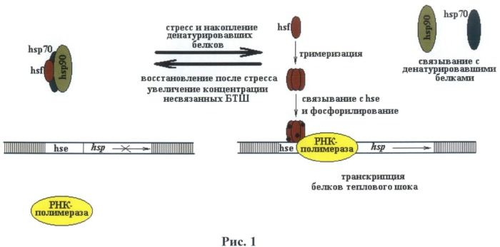 Вектор экспрессии для трансгенного введения в клетки и ткани млекопитающих с регулируемым невирусным промотором