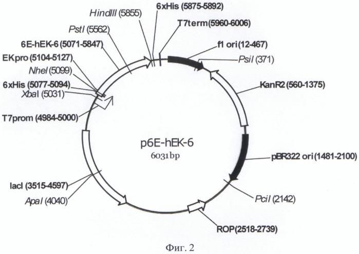 Плазмида для экспрессии в клетках бактерии рода escherichia неактивного предшественника мутеина [c112s] легкой цепи энтерокиназы человека, бактерия, принадлежащая к роду escherichia, - продуцент предшественника рекомбинантного мутеина [c112s] легкой цепи энтерокиназы человека, предшественник рекомбинантного мутеина [c112s] легкой цепи энтерокиназы человека, способ получения рекомбинантного мутеина [c112s] легкой цепи энтерокиназы человека, рекомбинантный мутеин [c112s] легкой цепи энтерокиназы человека