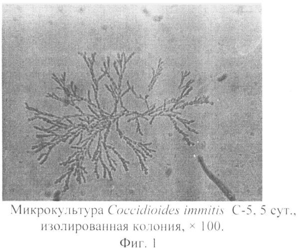 Способ приготовления живых препаратов микроскопических грибов рода coccidioides для световой микроскопии
