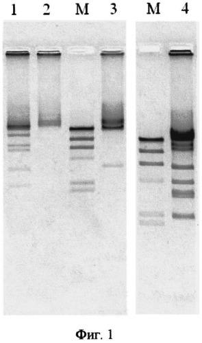 Штамм бактериофага escherichia coli ecd4, обладающий литической активностью по отношению к бактериям escherichia coli серотипа о104:н4