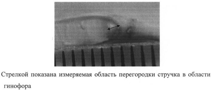 Способ отбора селекционного материала рапса (brassica napus l.) по признаку устойчивость к растрескиванию стручков