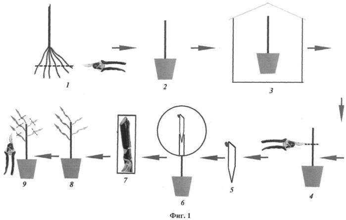 Способ тиражирования садовых культур высших категорий качества методом настольной прививки