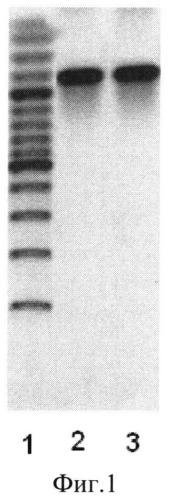 Рекомбинантный штамм бактерий bacillus licheniformis - продуцент термостабильной липазы