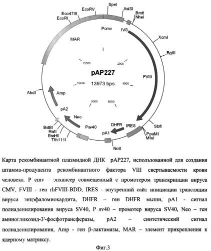 Рекомбинантная плазмидная днк рар227, кодирующая полипептид рекомбинантного фактора viii свертываемости крови человека, линия клеток cricetulus griseus cho 2h5 - продуцент рекомбинантного фактора viii свертываемости крови человека и способ получения полипептида, обладающего активностью фактора viii