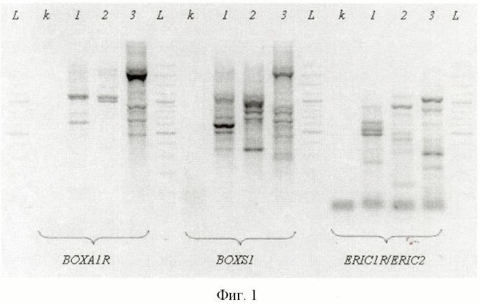 Пробиотические штаммы lactobacillus и их консорциум для профилактики и лечения урогенитальных инфекционных заболеваний у женщин