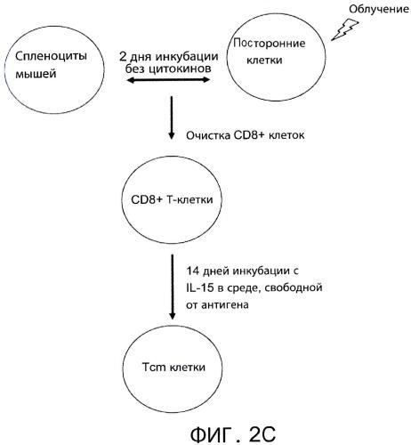 Т-клетки центральной памяти против третьей стороны, способы их получения и их применение в трансплантации и лечении заболеваний