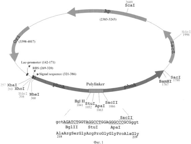 Плазмидный вектор и способ выявления нонсенс-мутаций и мутаций сдвига рамки считывания в гене brca1