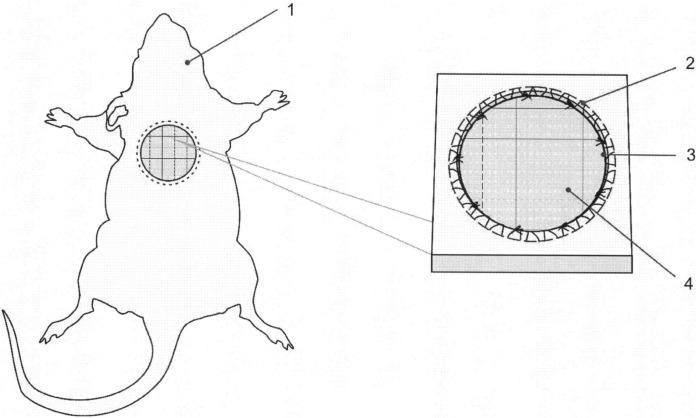 Способ моделирования трофической раны в эксперименте