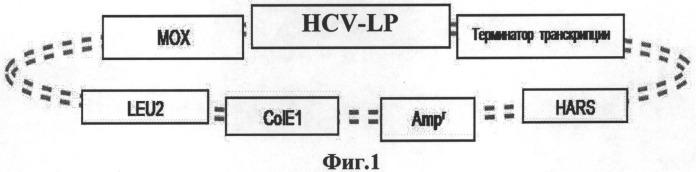 Вакцина на основе вирусоподобных частиц, содержащих все структурные антигены вируса гепатита с, и способ ее получения в дрожжах hansenula polymorpha