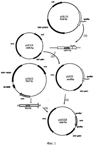 Штамм бактерий bacillus pumilus 2a-5 с низкой протеолитической активностью, повышенной активностью фосфатазы, способ его получения и применения