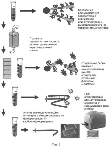Способ специфического отбора высокоаффинных молекул днк (днк-аптамеров) к рекомбинантному белку-мишени