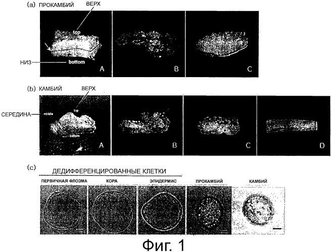 Косметическая композиция, содержащая культивированные клетки из камбия или прокамбия тисса(taxus)