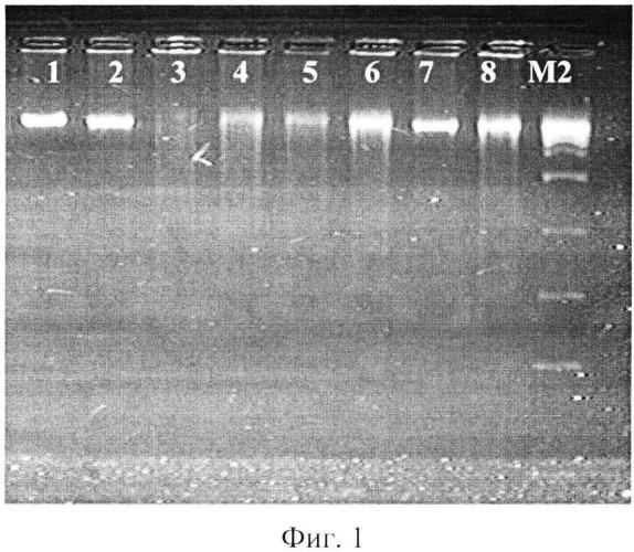 Способ определения простейших blastocystis spp. с различной степенью вирулентности